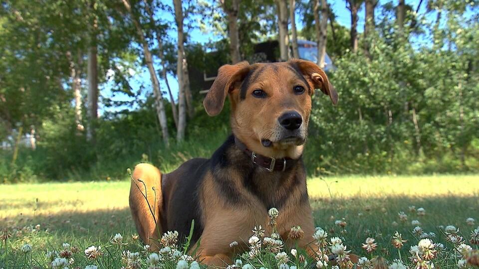 Le chien mercure est couché dans l'herbe.