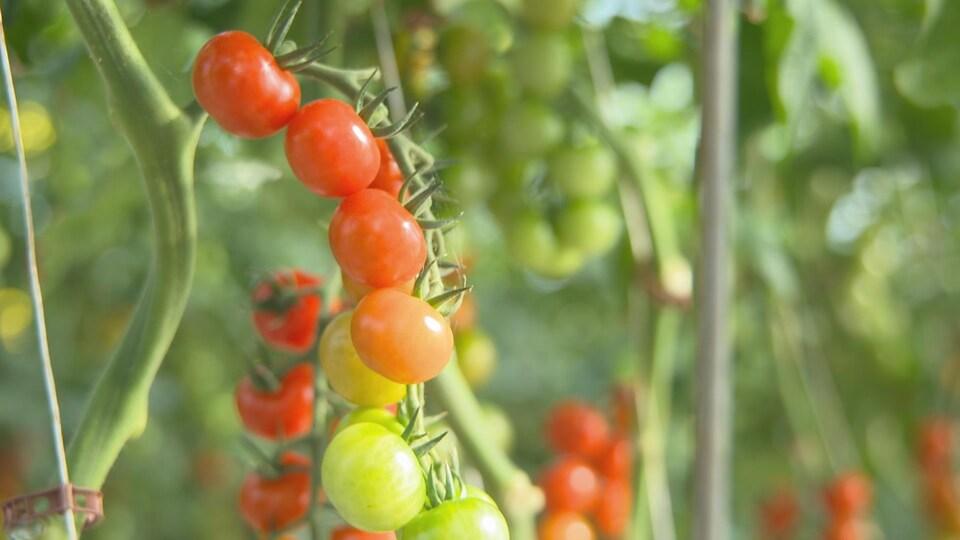 Une grappe de tomates.