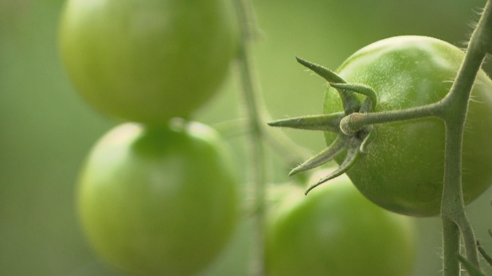 Tomate verte dans une serre