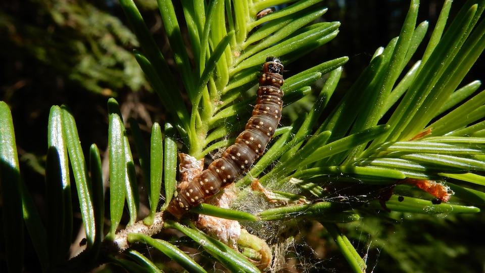 Une tordeuse des bourgeons de l'épinette sous sa forme larvaire.