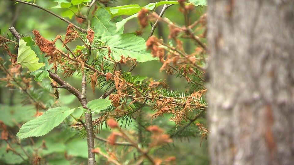 Les aiguilles saines et vertes se retrouvent à côté d'autres rendues brunes, et en train de sécher.