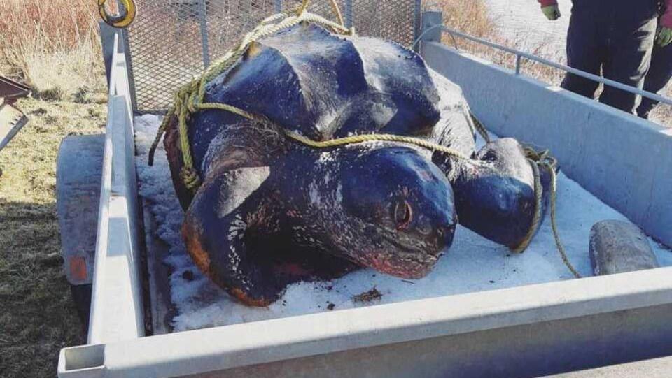 Carcasse de tortue luth dans une remorque.