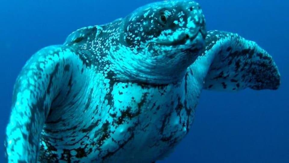 Une tortue luth sous l'eau