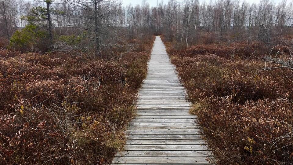 Un chemin en bois qui passe dans une tourbière.
