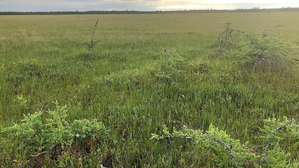Un champs d'herbes hautes dans la tourbière de Alward Brook.