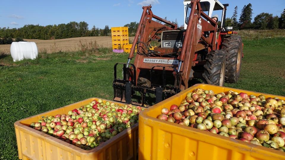 Un tracteur fait le transport des pommes dans la cidrerie Double Hill, à Caledonia.