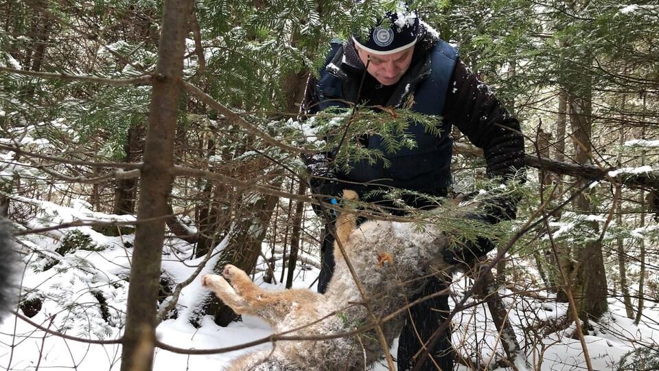 Robin St-Gelais piège un coyote dans le bois.