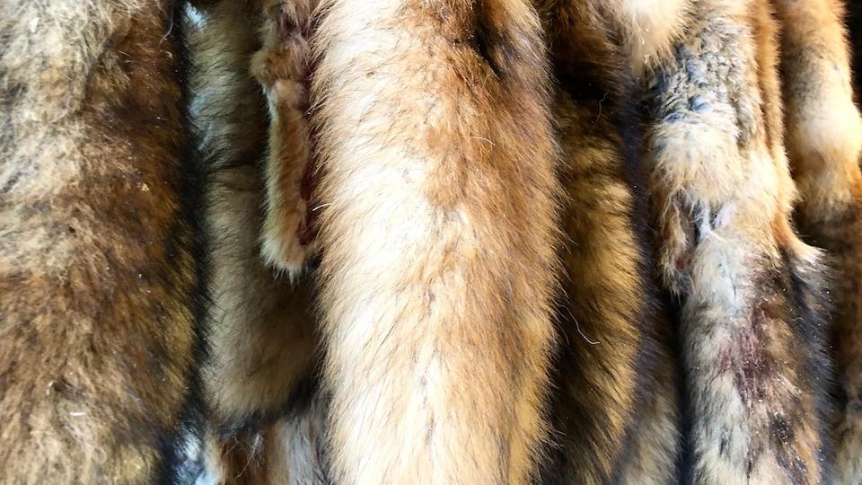 Des peaux de renards et de coyotes se trouvent dans l'atelier de Robin St-Gelais, à Matane.