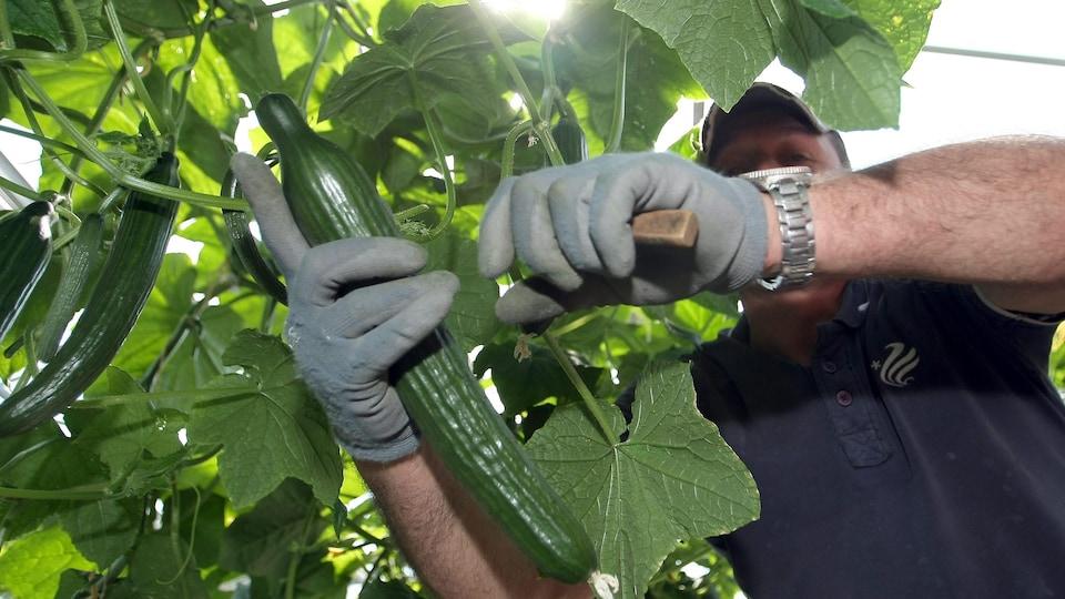 Un travailleur agricole coupe un concombre.