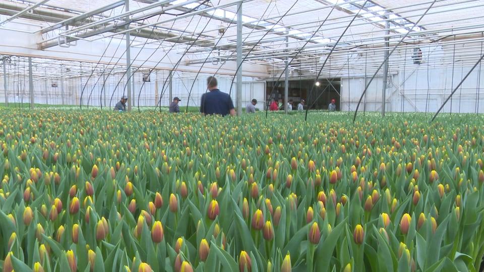 Des millions de tulipes dans une grande serre