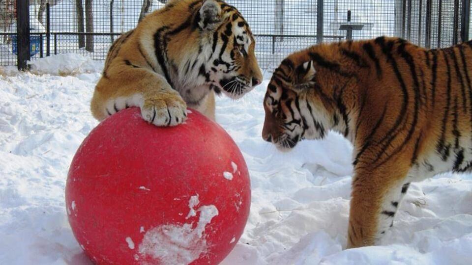 deux tigres en hiver avec un ballon rouge.
