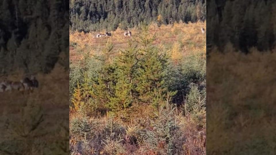 Une capture d'écran d'une vidéo montre une meute de loup dans la forêt.