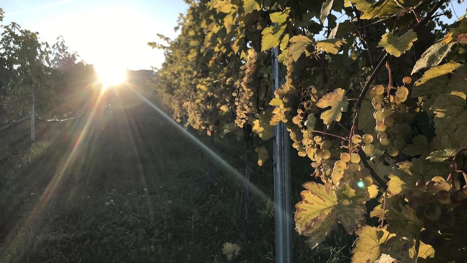 Gros plan sur une rangée de vignes illuminée par le soleil levant