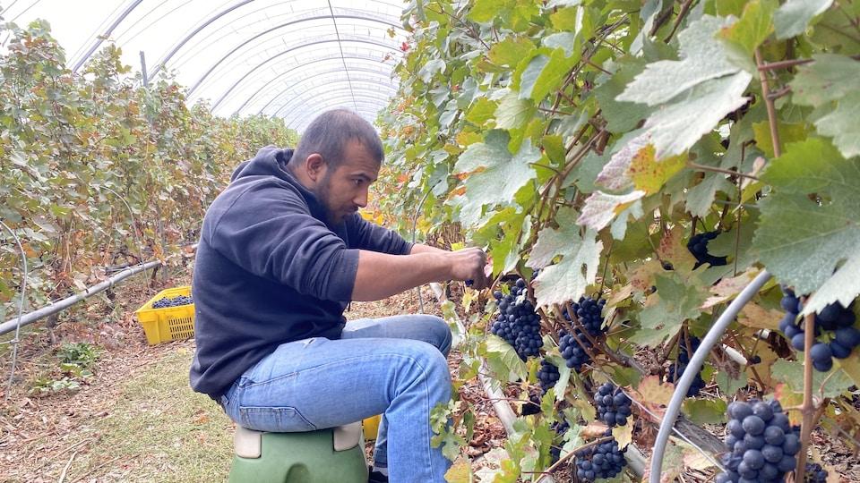 Un homme qui coupe des grappes de raisin.