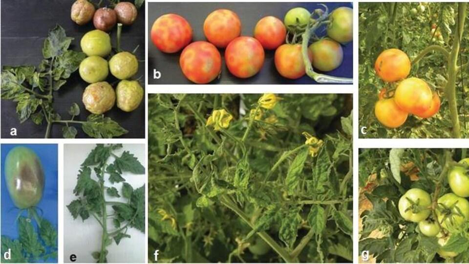 Une série de plusieurs images qui montrent des tomates atteintes par le virus