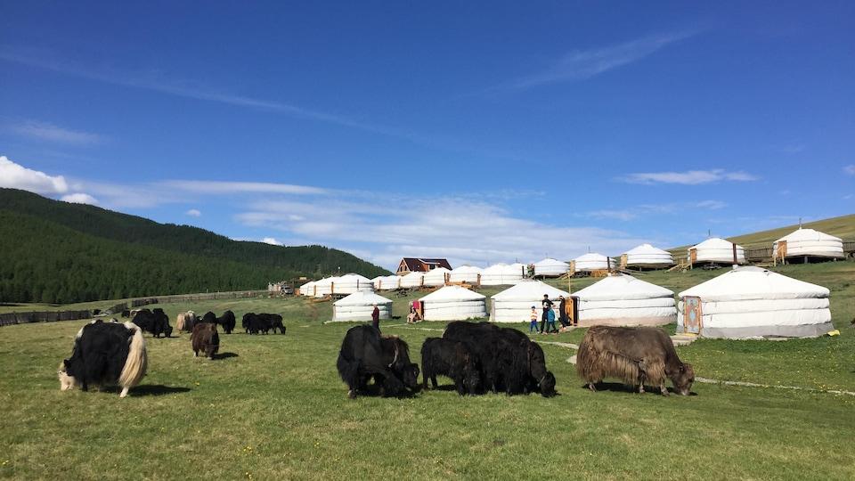 Des vaches broutant devant des yourtes, en Mongolie