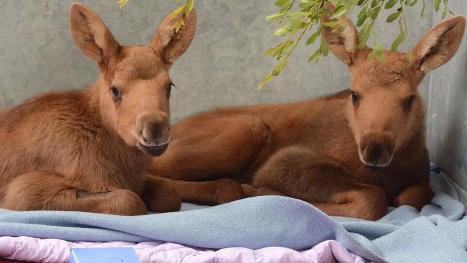 Deux bébés orignaux couchés ensemble sur une couverture dans un enclos avec des branches.