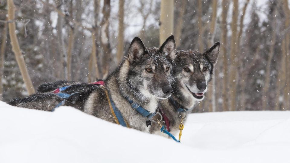 Deux chiens attelés dans la neige.