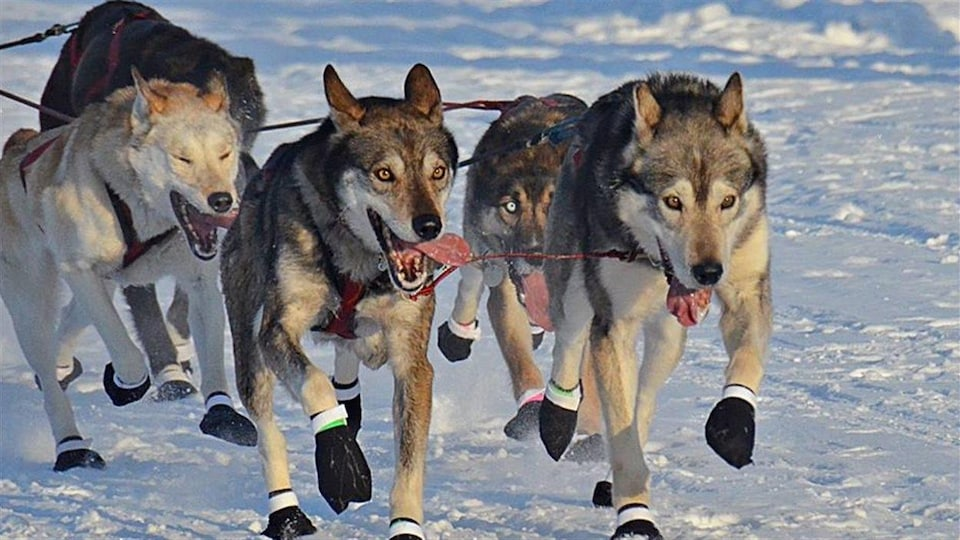 Des chiens de traîneaux lors de la Yukon Quest de 2016.