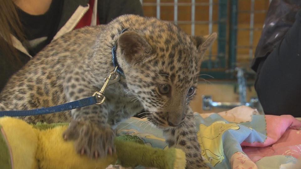 Un petit léopard se fait cajoler par des visiteurs.