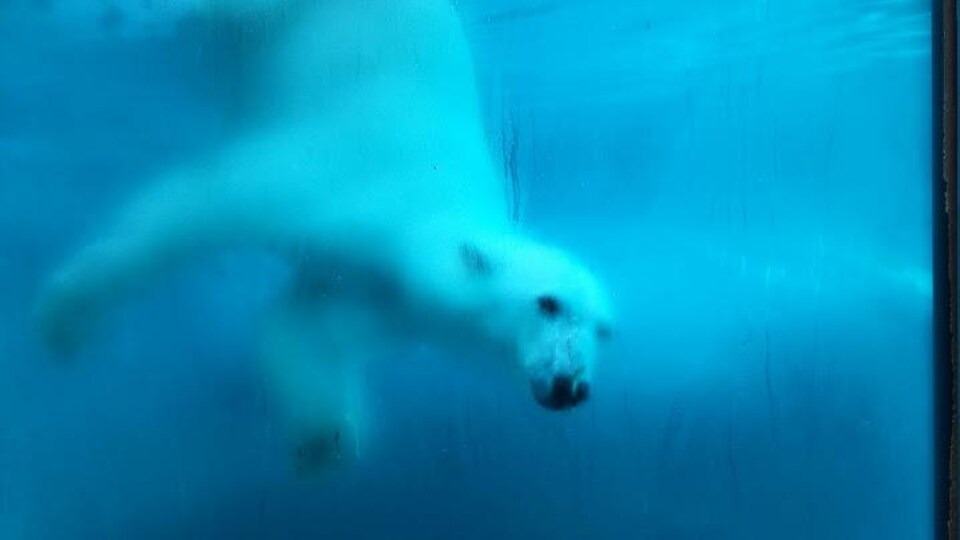 Un ours blanc nage.