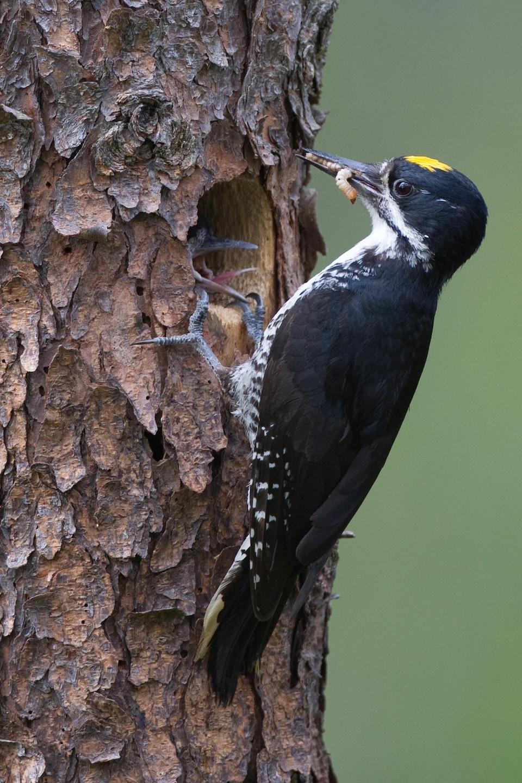 Un oiseau noir aggippé à un arbre nourrit ses petits en leur donnant des verres de terre.