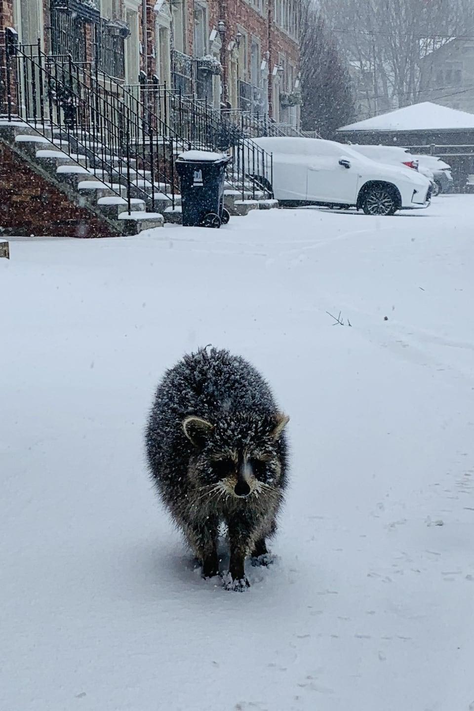 Un raton laveur marche dans la neige.