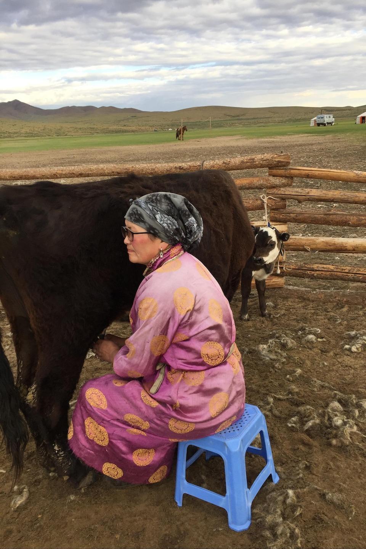 Une Mongole fait la traite d'une vache.