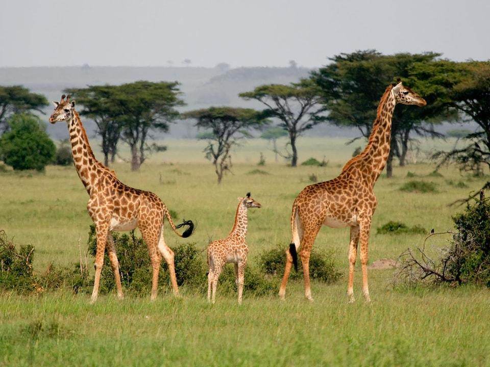 Deux girafes adultes et un bébé dans la savane africaine.