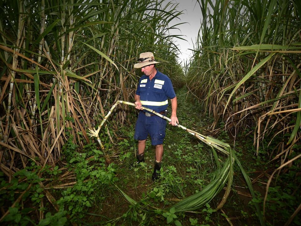 Un homme regarde une canne à sucre qu'il tient à deux mains, debout dans un champ australien sous un ciel gris.