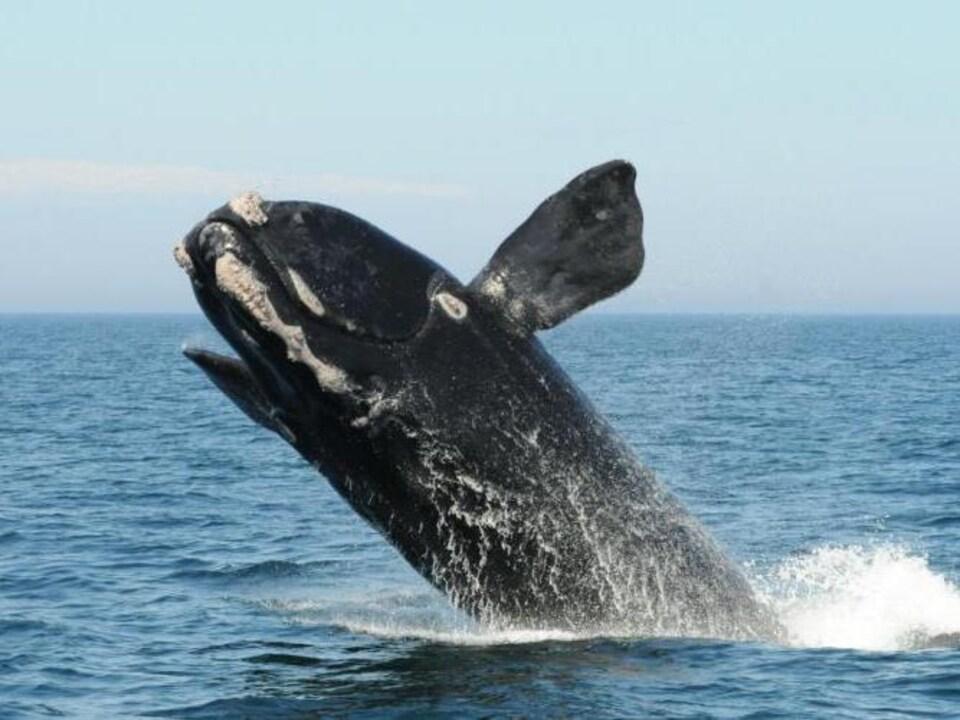 Une baleine saute hors de l'eau.