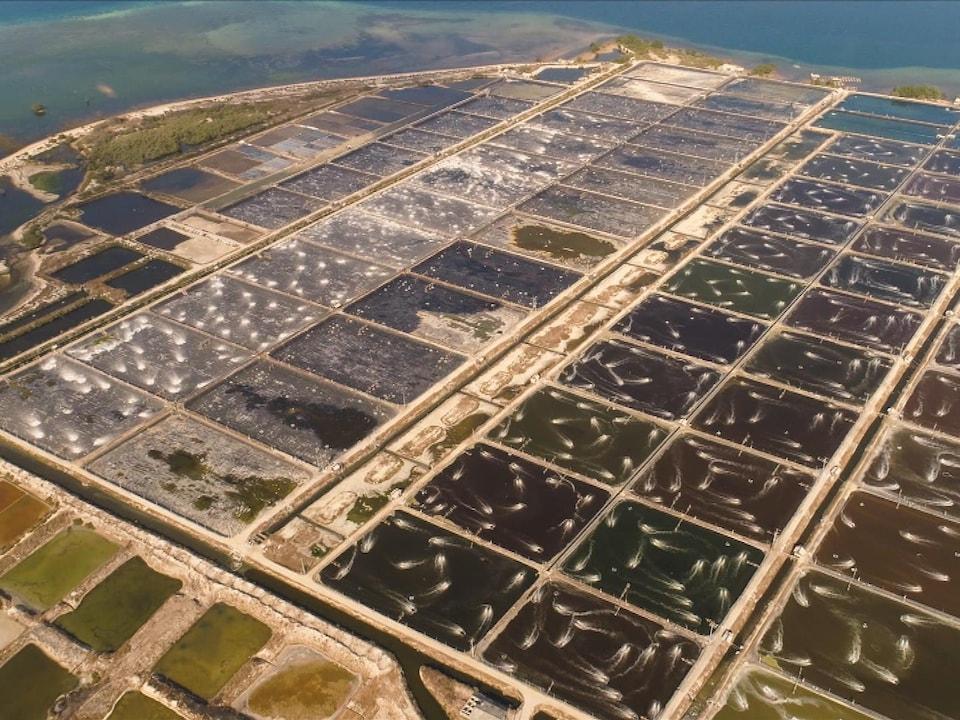 On voit, du haut des airs, des bassins d'élevage de crevettes.