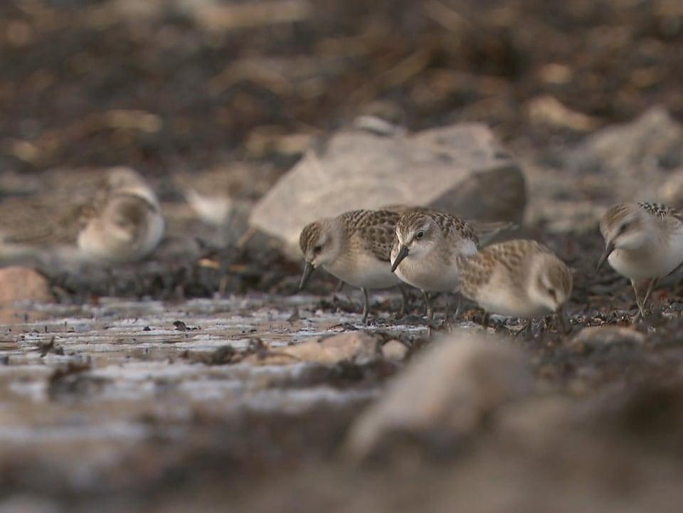 On voit des bécasseaux semipalmés au bord du fleuve.