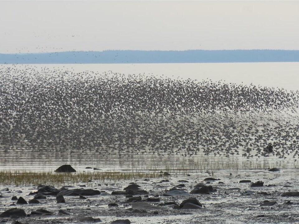 Envolée de bécasseaux semi-palmés lors d'une halte migratoire dans l'est du Canada
