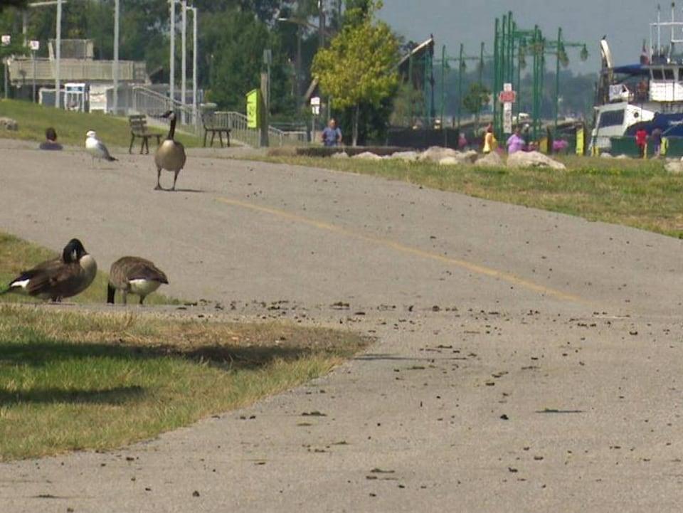 Des bernaches se prélassent à côté d'une piste cyclable. On voit qu'il y a beaucoup de leurs excréments sur ladite piste.