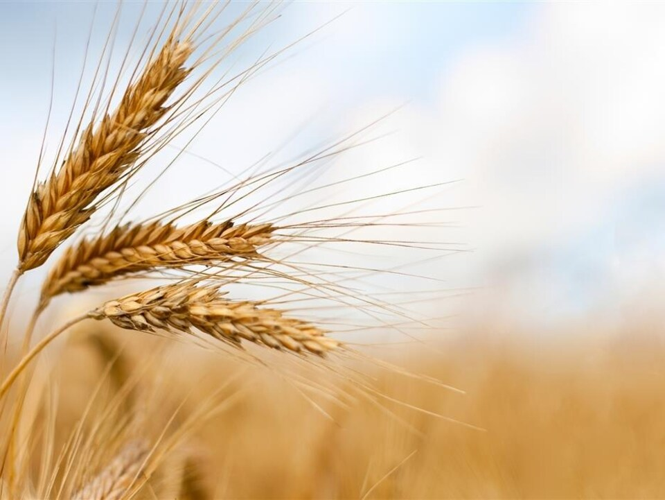 On voit des épis de blé à maturité, en gros plan, dans un champ.