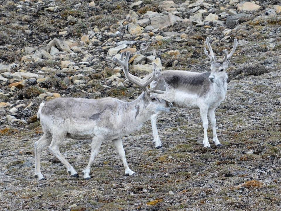 Des caribous de Peary.