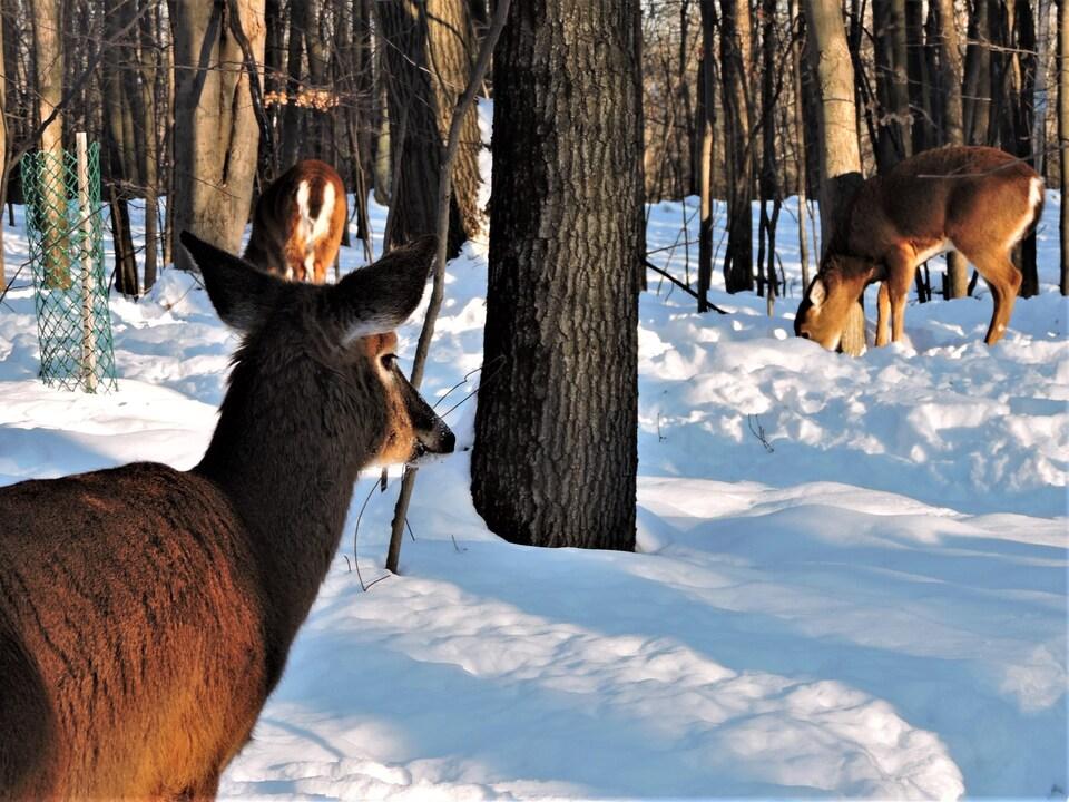 Trois cerfs en hiver.