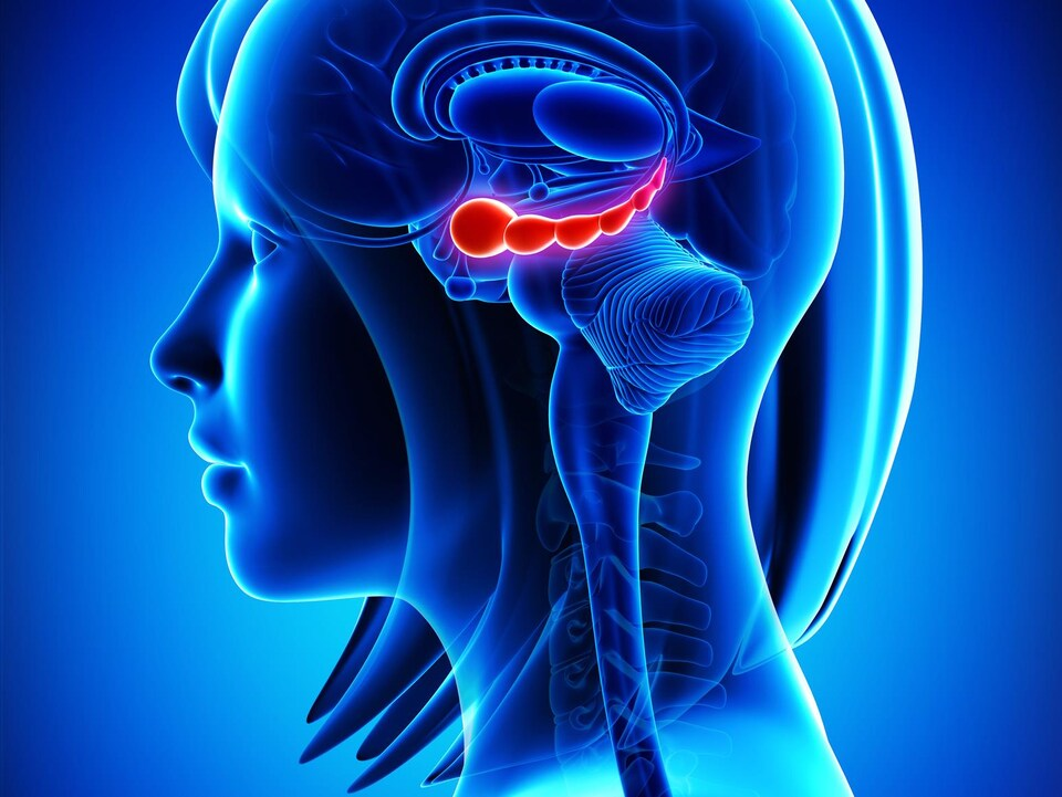 Illustration de l'hippocampe du cerveau.