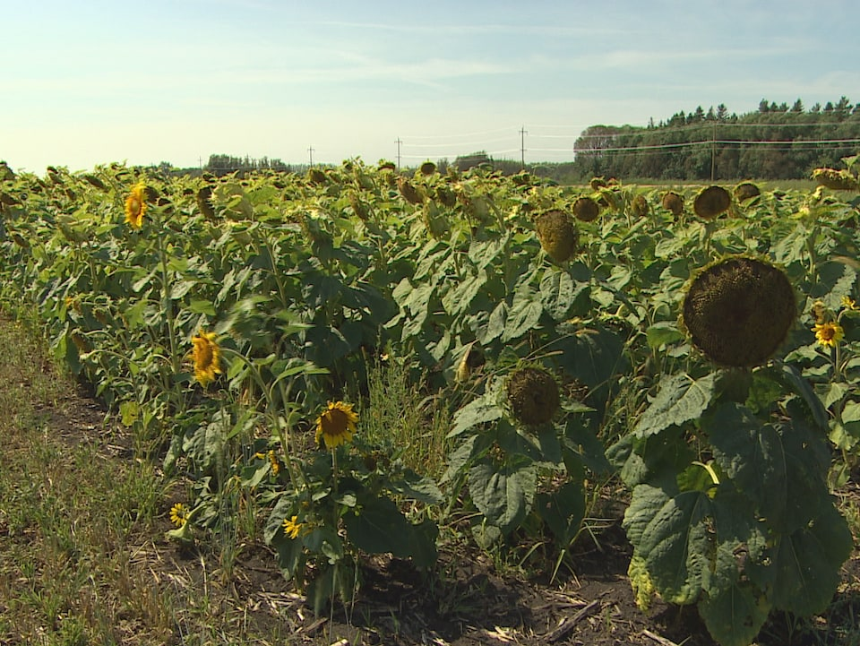 champ de tournesols en bordure de route