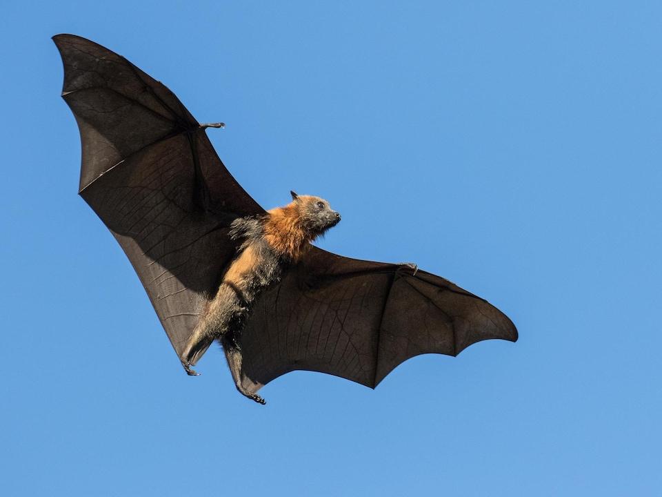 Une chauve-souris « Pteropus poliocephalus » en vol.