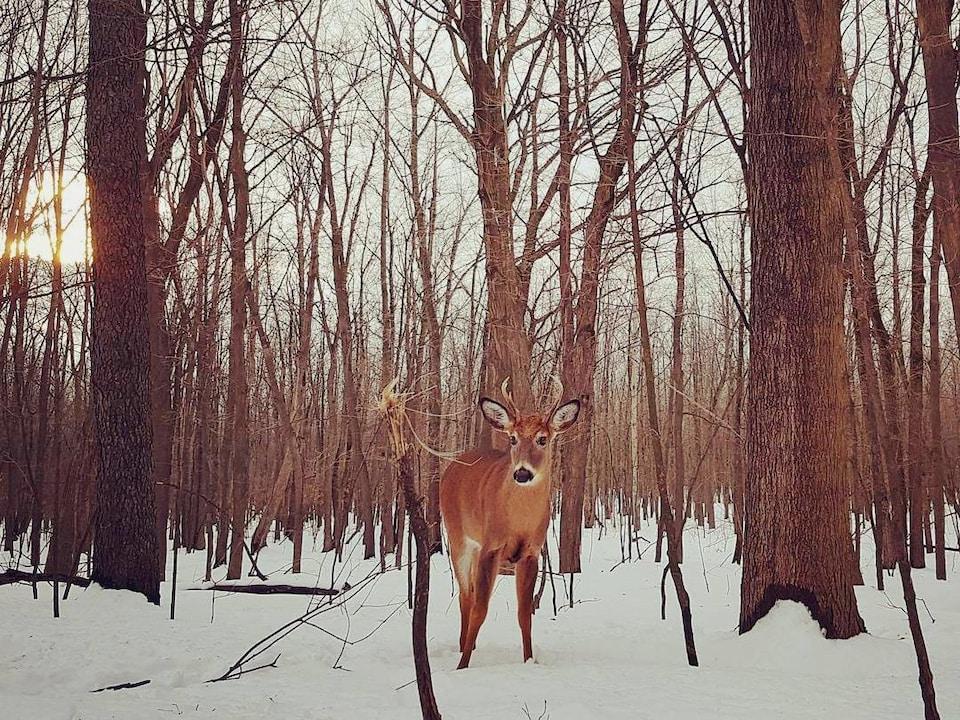 Un cerf avec de petits bois sur la tête se tient debout sur la neige dans un boisé.