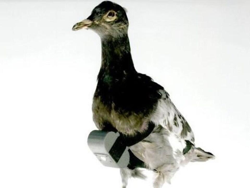 Un pigeon empaillé équipé d'un dispositif de prise de vue.