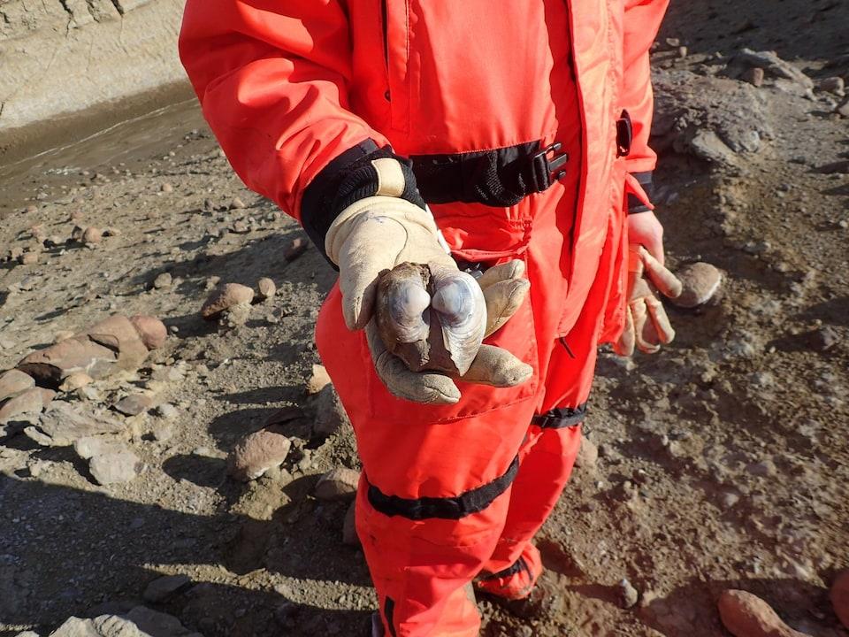 Un chercheur tient une coquille fossilisée de palourde.