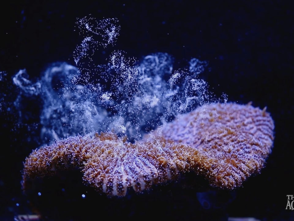Des œufs s'élèvent près d'un corail « Dendrogyra cylindricus » alors qu'il fraie pour la première fois avec succès dans un aquarium.