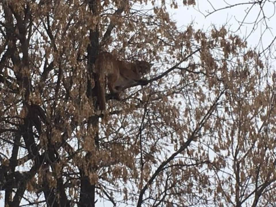 Un cougar dans un arbre.