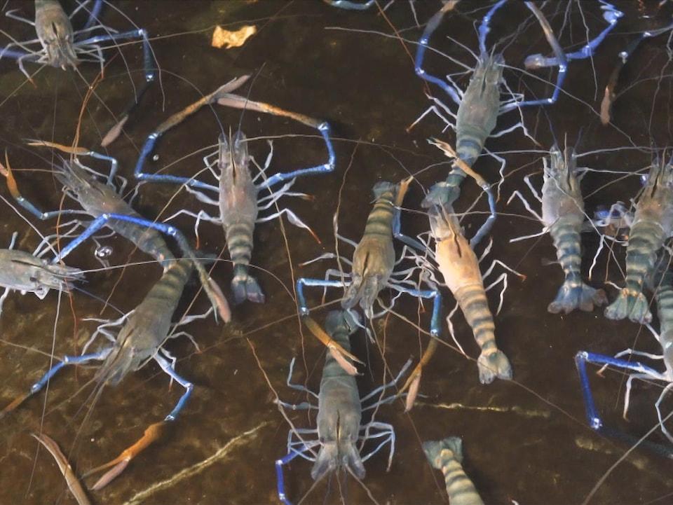 On voit des crevettes vivantes, de haut, dans un bassin rempli d'eau.