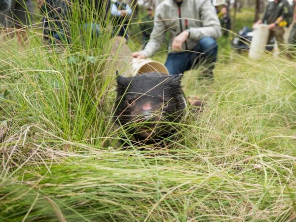 Un diable de Tasmanie relâché dans la nature.