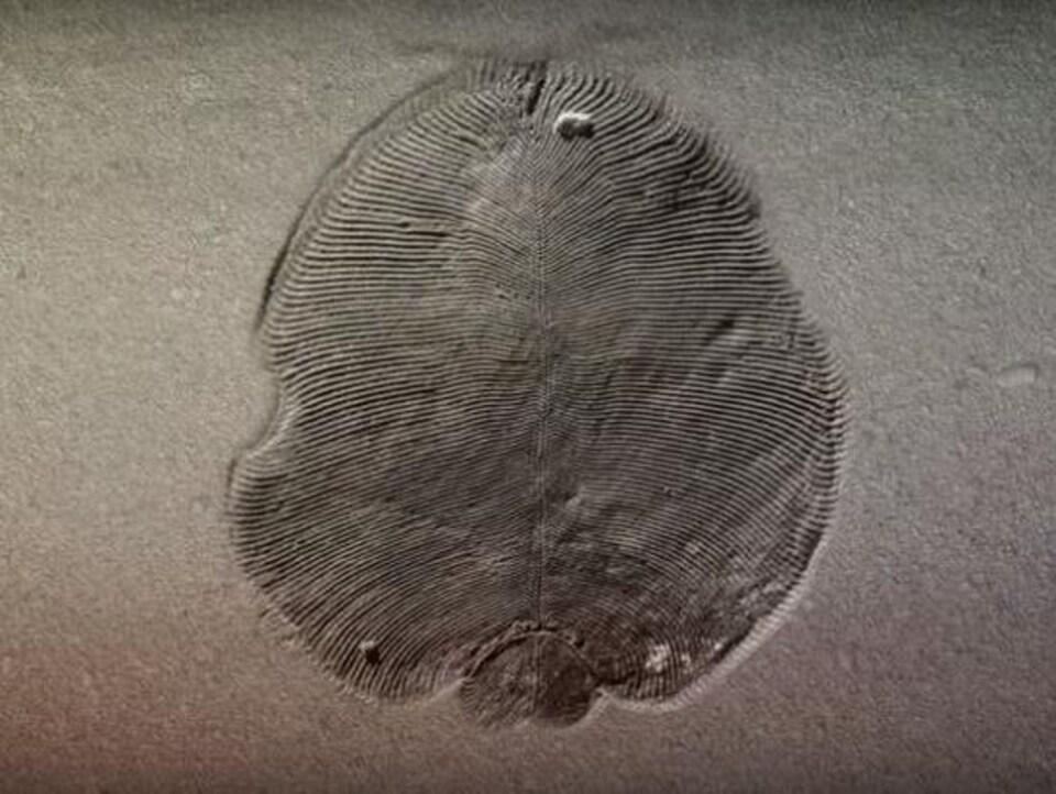 Un fossile de Dickinsonia.