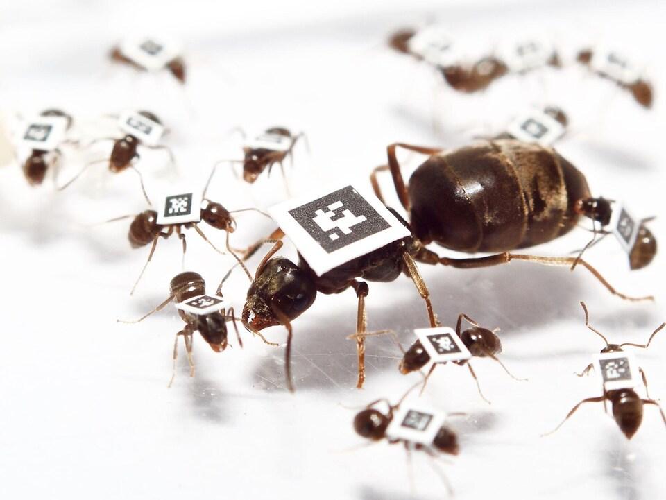 Des fourmis marquées
